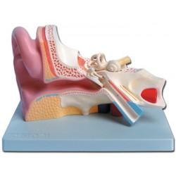 Anatomisches Modell-Ohr