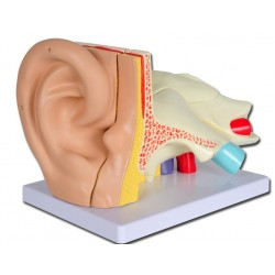 Organes Sensoriels